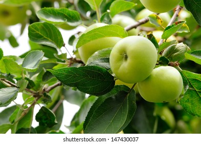 Apples ripen on the tree. Apples on a branch.