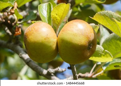 Apples ripening on an apple tree in an orchard during summer
