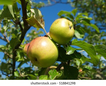 apples in summer in a tree