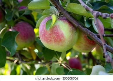 apples-tree-260nw-350308706.jpg