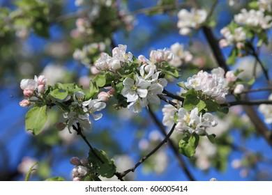 Apple's tree blooming garden.