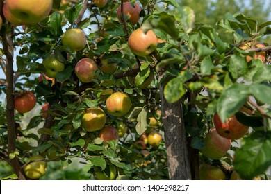 Apples tree in garden, nature