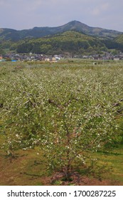 Apples tree in Japan, Nagano Prefecture