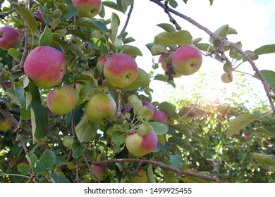 apples in tree orchard summer organic fruits picking