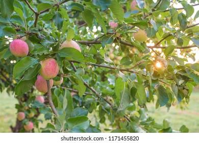Apples in a tree at sunset on a Scandinavian summer evening.