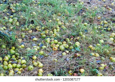 Apples are unnoticed as fall fruit under an apple tree in the grass