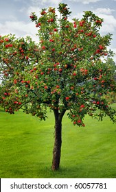Apples waiting for harvest