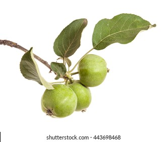 apple-tree branch with unripe green apples. isolated on white background