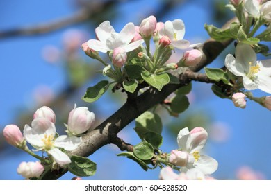 Apple-tree flowers against the blue sky.