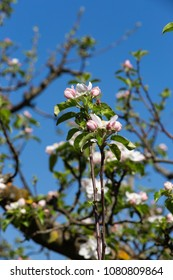 appletree foliage blossom on beautiful blue sky sunny springtime april holiday in south germany countryside