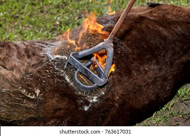 Applying a red hot branding iron to a young steer causing smoke and flames as a farmhand marks the cattle for identification and ownership
