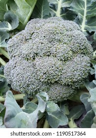 approach to a broccoli growing plant, background and texture
