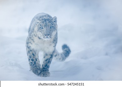 The approach of the snow leopard.