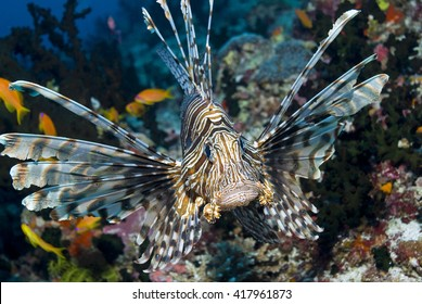 Approaching Red Lionfish (Common Lionfish) between corals.