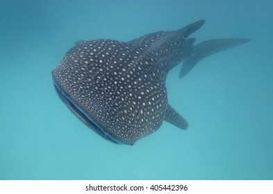Approaching whale shark right from the front in turquoise water.