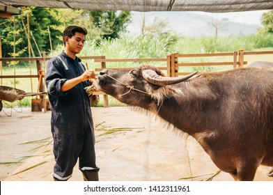 APR 4, 2019 Luang Prabang, Laos - Male Asian Farmer feeding banana to beautiful black Asian water buffalo in local dairy farm