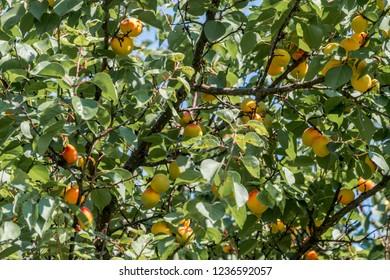 Apricot (Armeniaca vulgaris) in orchard, Republic of Dagestan, Russia