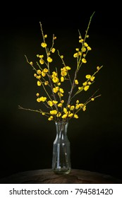 Apricot blossom with black background. Yellow apricot blossom