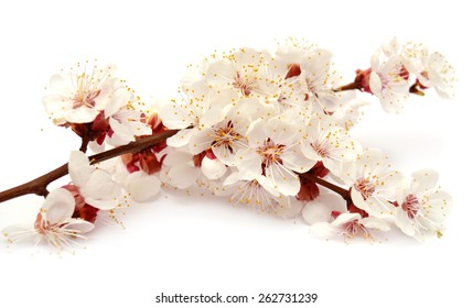 Apricot blossom branch isolated on white background