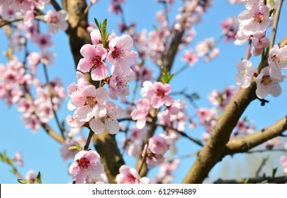 Apricot blossom in Wachau Austria along the Danube river. Pink color Apricot blossom with blue sky background.