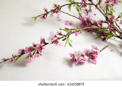 Apricot blossoms on white background