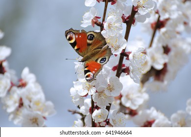 Apricot blossoms with peacock butterfly
