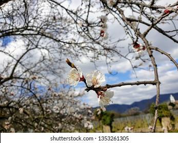 Apricot Blossoms in Wachau, Austria