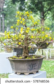 Apricot bonsai tree blooming in spring with yellow flowering branches curving create unique beauty of spring in Vietnam