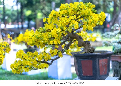 Apricot bonsai tree blooming with yellow flowering branches curving create unique beauty. This is a special wrong tree symbolizes luck, prosperity in spring Vietnam Lunar New Year