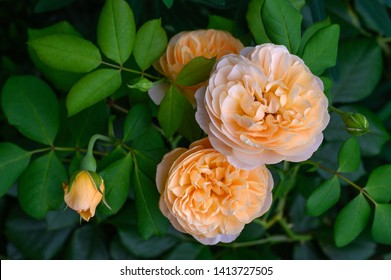 Apricot colored English Rose 'Roald Dahl' in flower