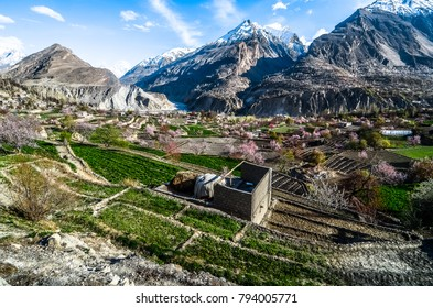 apricot farm during sping season with snowy mountain at back ground at hunza valley pakistan