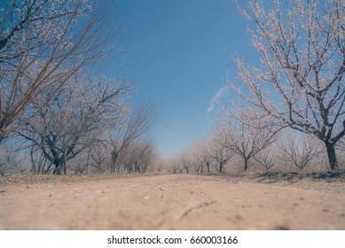 Apricot field