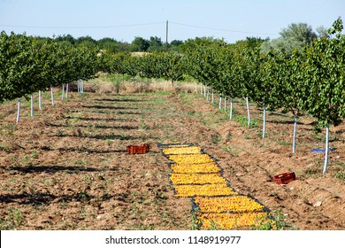 Apricot field. Freshly collected apricots are kept on the sun for extraction of their core. Malatya, Turkey.
