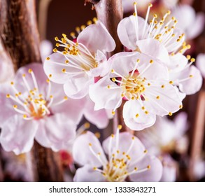Apricot flower in close up, horizontal image
