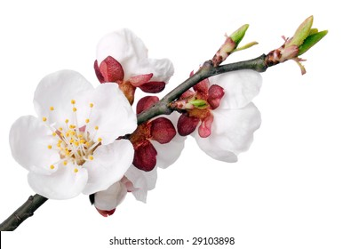 Apricot flower on white background (isolated).