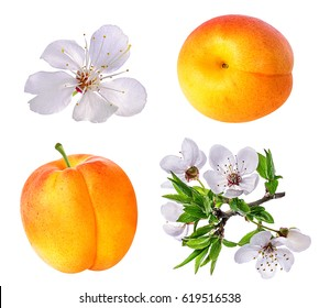 Apricot and apricot flower on white background
