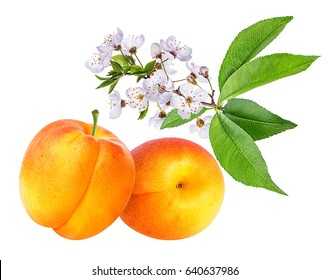 Apricot and apricot flower on white background (isolated).