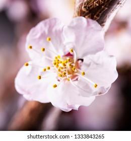 Apricot flower, strict close up, focus on pistils, square image