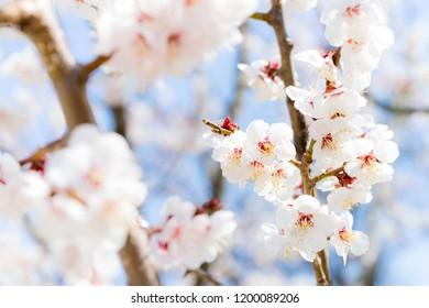 Apricot flower, Ume flower