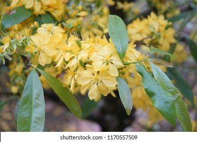 Apricot flower - Vietnamese flower for Lunar New Year. The flower is yellow and symbolises for luck, richness and prosperousness during new year. It can be very costly during spring.