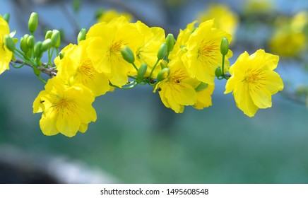 Apricot flowers blooming in Vietnam Lunar New Year with yellow blooming fragrant petals signaling spring has come, this is the symbolic flower for good luck
