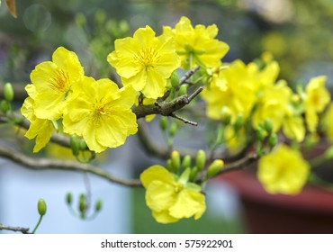 Apricot flowers blooming in Vietnam Lunar New Year with yellow blooming fragrant petals signaling spring has come, this is the symbolic flower for good luck in New Year's Day