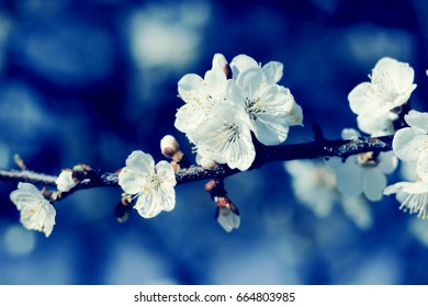 Apricot flowers blossom. Nature floral background.