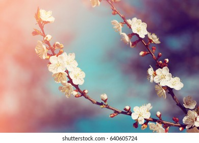 Apricot flowers blossoming over blue sky. Nature background.