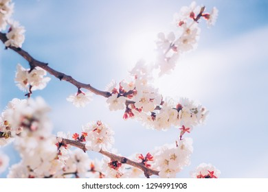 Apricot flowers blossoming in spring sunny day. Nature floral background. Blue and white colors