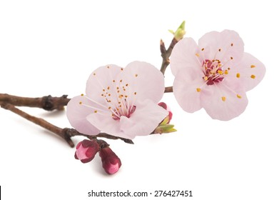 Apricot flowers isolated on white background