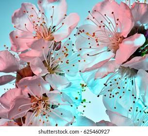 Apricot flowers on a turquoise background, color illumination. Macro. Studio.