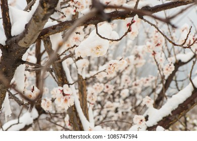 The apricot flowers in the orchard are in the snow.