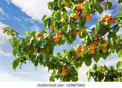 apricot and green leaves in apricot tree