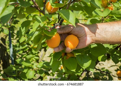 Apricot harvesting in a orchard.